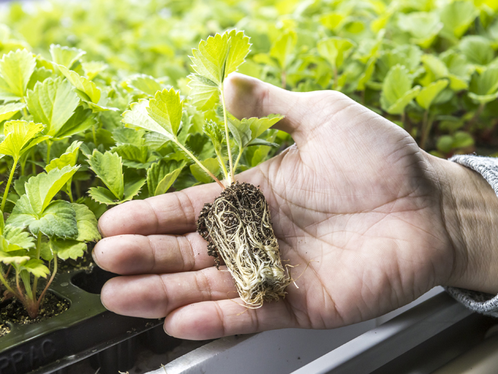 真夏の過酷な育苗作業・病害汚染リスク…生産者の悩みに応えるイチゴ苗が登場