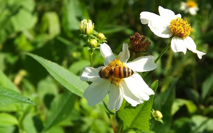 石垣島で養蜂の現状 ミツバチ