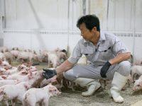 豚の増体、飼料コスト削減のカギは腸内環境の改善にあった!? 飼料要求率「0.16」改善を実現した『クマ笹エキス』とは