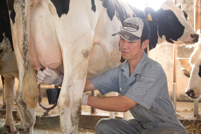 牛舎飼いから放牧酪農へ 鈴木さん搾乳中