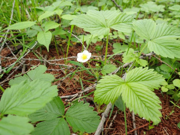 見本林のモリイチゴ花