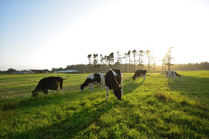 牛舎飼いから放牧酪農へ 放牧牛