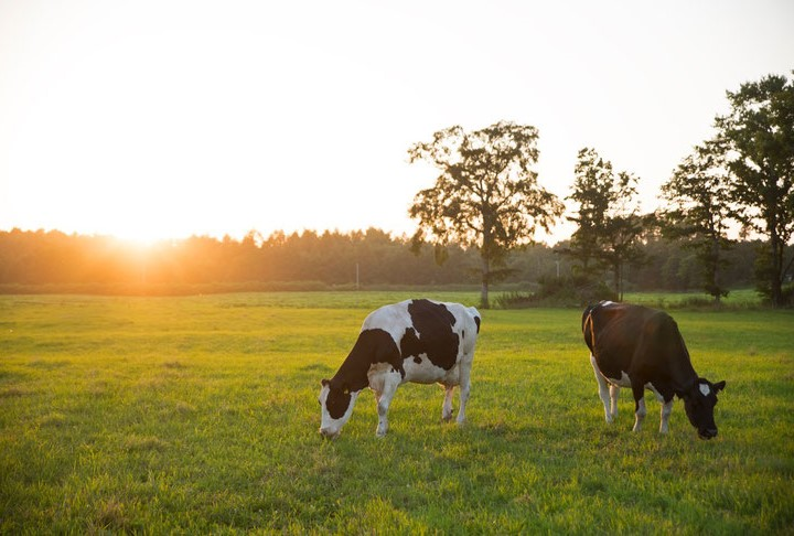 牛舎飼いから放牧酪農へ 牧草を食べる牛達