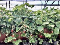 """""""そこにあるもの""""の価値を再発見 野生のベリー「モリイチゴ」、栽培化への道"""