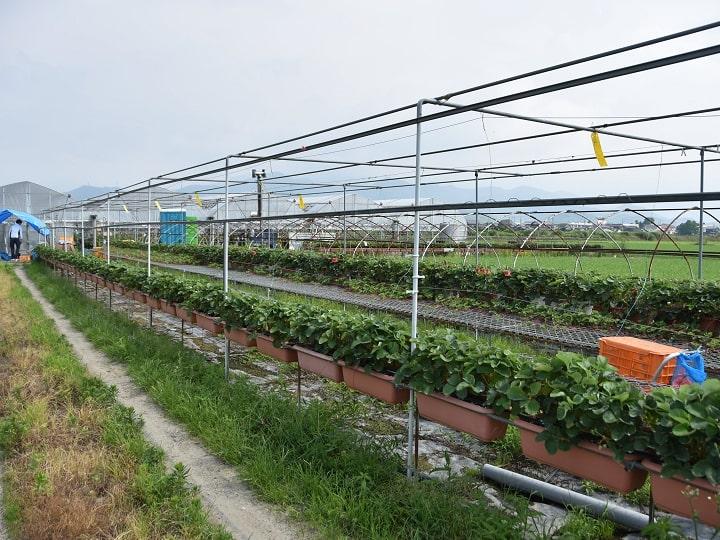 新規就農を目指す22歳さんが働くイチゴ園