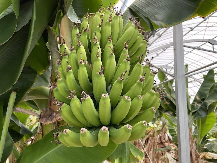 1本400円、国産無農薬のバナナ栽培。きっかけは偶然、ハウスがそこにあったから。
