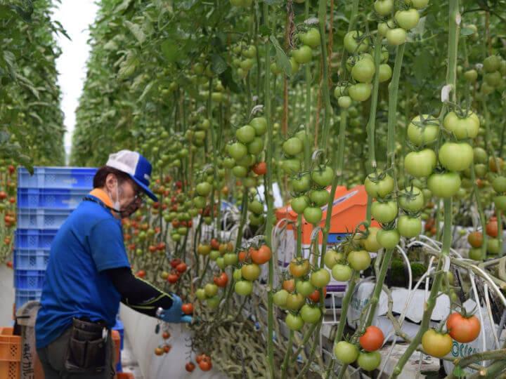 反収75トンの衝撃 トマトで日本一の収量を叩き出した農業法人、労務管理システムを共同開発