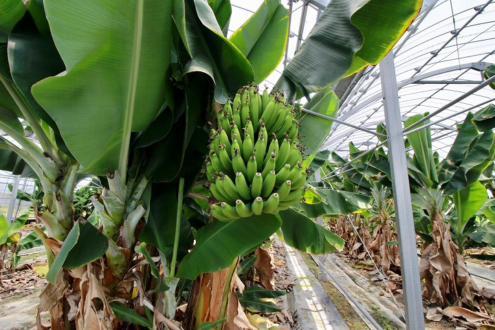 収穫前のバナナ全景