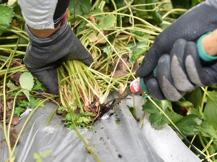 イチゴの株を撤去する新規就農を目指す22歳さん