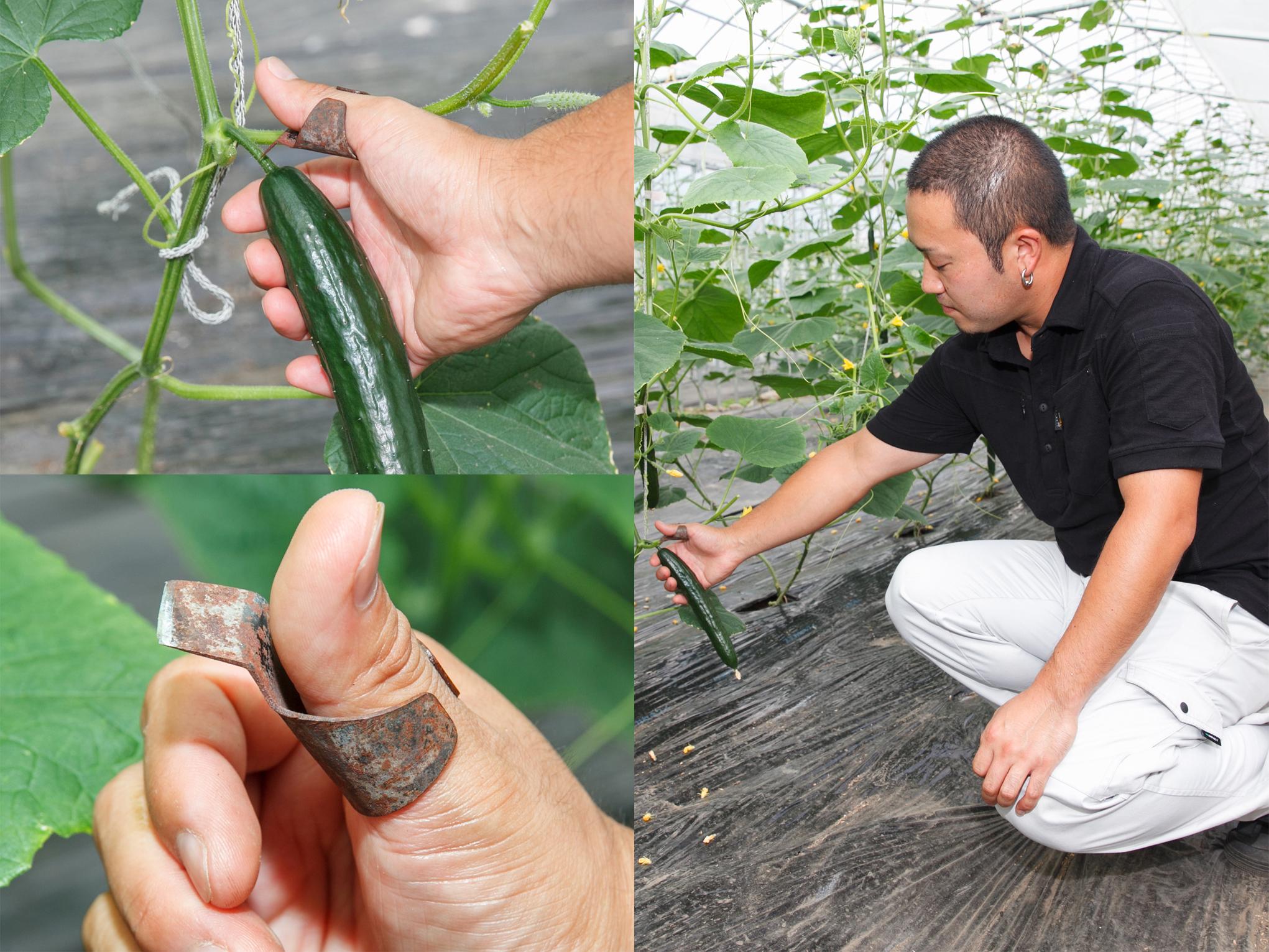 男性農家のきゅうり収穫