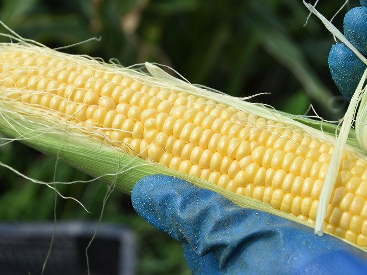 1_信州塩尻 つむぐ農園のトウモロコシ