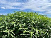緑肥の効果とは? 元田んぼに植えたセスバニア、その後