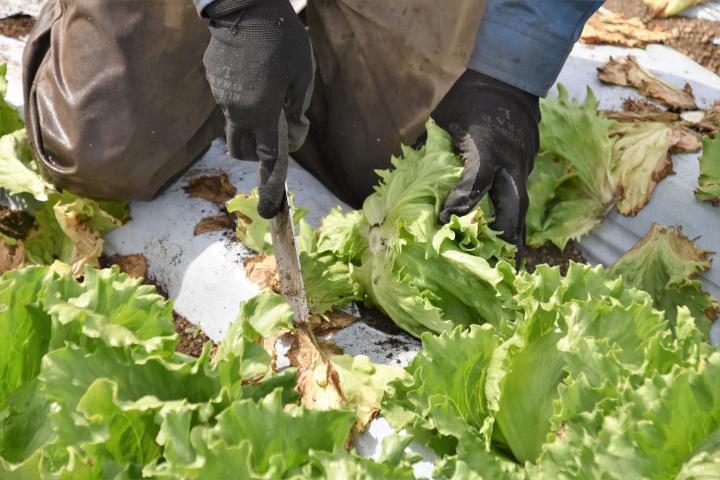 4_手作業のレタス収穫
