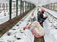 次期の植え付けが始まった! ロリータが4世代経営農家で農業修行してきた vol.5