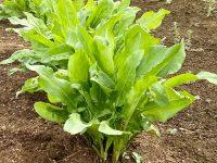 酸っぱい葉がクセになるオゼイユ、新規就農者や少量多品目農家と相性が良い理由